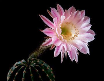 Cactus in bloei van Nannie van der Wal