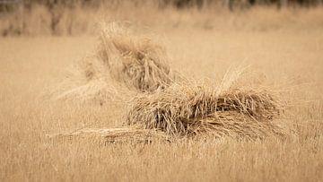 Wheat sheaves on a golden field of mowed grane sur Michel Seelen