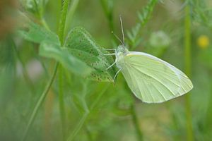 vlinder in het groen