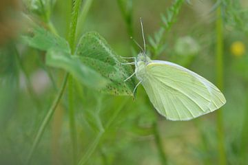 vlinder in het groen van Pascal Engelbarts