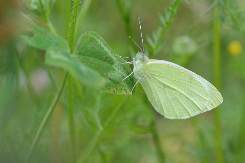 vlinder in het groen von Pascal Engelbarts