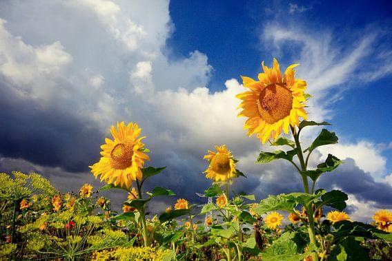 zonnebloemen ( sunflowers)  van Els Fonteine