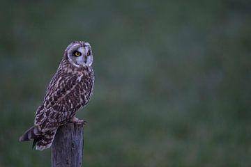 Short-eared Owl *Asio flammeus* at dusk, wildlife van