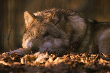 Ontspannen wolf in het avondlicht van Tanja Riedel