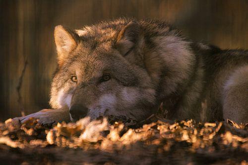 Entspannter Wolf im Abendlicht