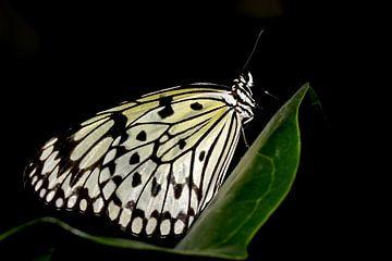 Monarch vlinder van Antwan Janssen