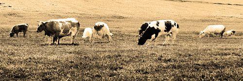 Koeien in Weiland Lisse Nederland Sepia