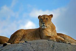 Leeuwin op een rots