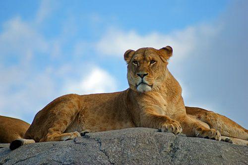 Leeuwin op een rots van