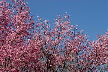 bomen met roze bloesem en blauwe lucht van