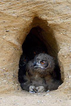 Augenpaare... Europäischer Uhu *Bubo bubo* von wunderbare Erde