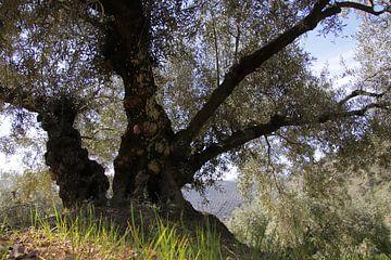 Oude olijfboom in het voorjaar