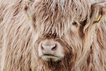 Porträt Schottischer Highlander von Melissa Peltenburg