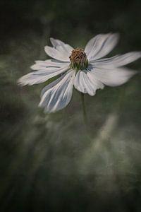 Witte Cosmea met een donkere achtergrond. van Ellen Driesse