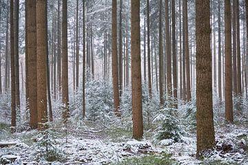 Besneeuwde lage dennenbomen tussen de hoge douglassparren