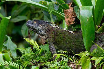 Leguan Costa Rica von Merijn Loch