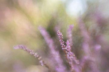 Heide in bloei van D. Henriquez