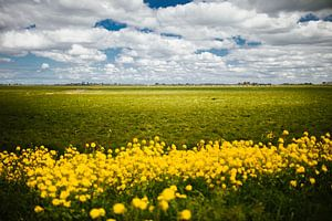 Fries landschap met koolzaadbloemen
