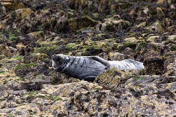 zeehond van Wendy Hilven