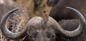 Büffel mit Vogel auf dem Kopf Südafrikas von John Stijnman