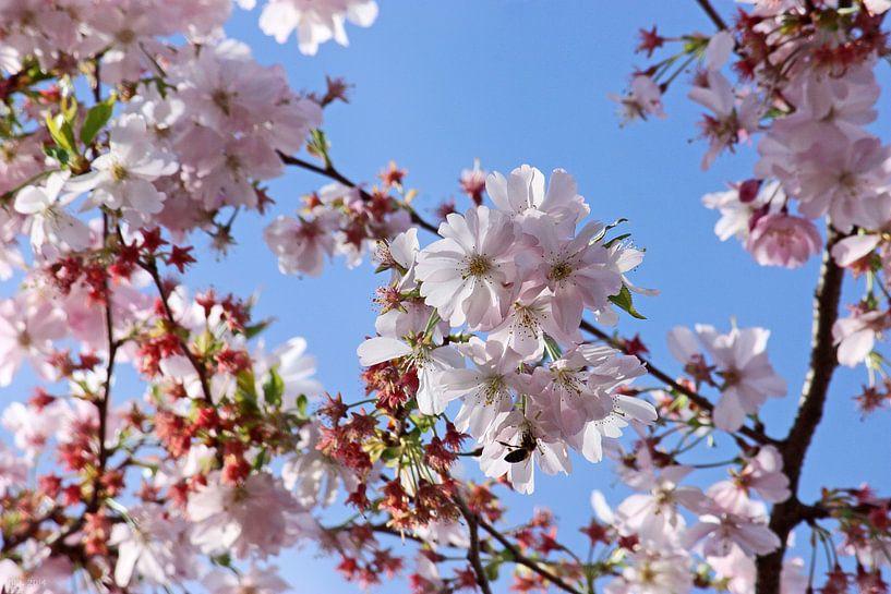 springtime! ... Under The Cherry Tree 02 van Meleah Fotografie