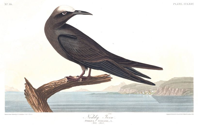 Anous van Birds of America