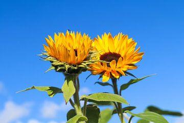 Close-up van twee zonnebloemen tegen blauwe hemel