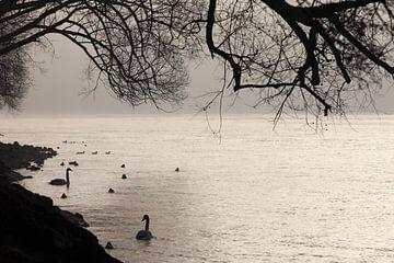 Schwäne am Ufer van Jana Behr