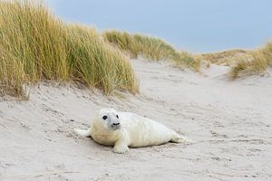 Grijze zeehond (Halichoerus grypus) jong in de duinen, Helgoland