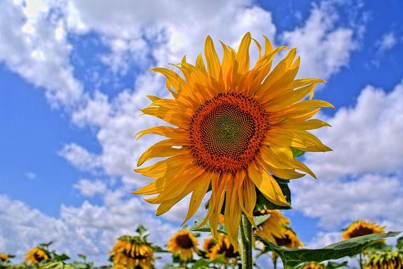 Zonnebloem in bloei