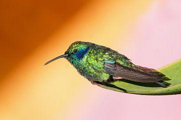 Kolibri (hummingbird, Costa Rica) von Cocky Anderson