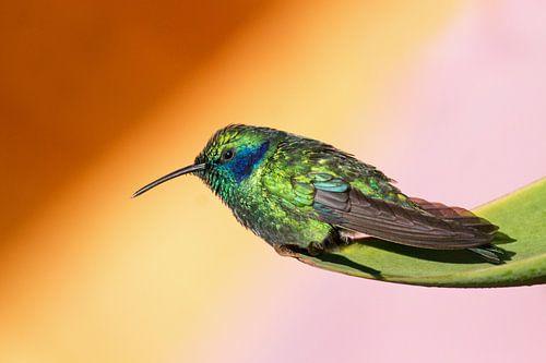 Kolibrie Costa Rica (gekleurde achtergrond) / Hummingbird