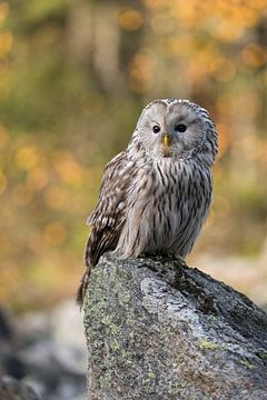 Ural Owl ( Strix uralensis ) in front of autumnal colored woods van wunderbare Erde