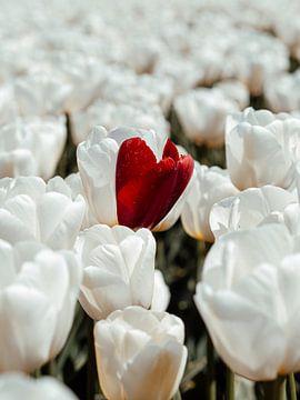 Weißes Tulpenfeld von Lara Groenhof
