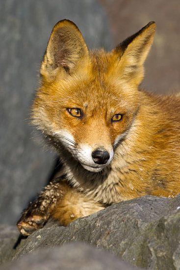 Portret van een vos op een rots van Menno Schaefer