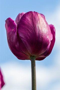 Dieproze tulp von Leonie Boverhuis