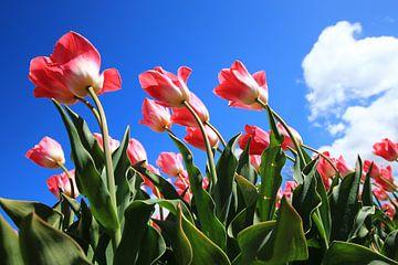 Tulpen in de wind van