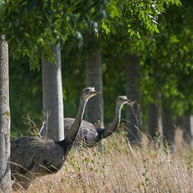 Zwei Nandus oder Größere Rhea (Rhea americana), die durch eine Baumreihe auf ein Feld blicken, seit  von Maren Winter