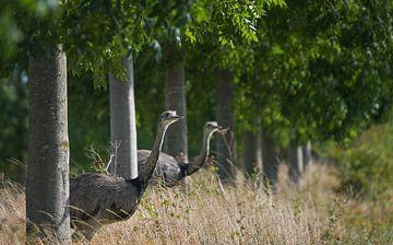 Twee nandus of grotere rhea (Rhea americana) kijkend door een rij bomen naar een veld, sinds 2000 zi van Maren Winter