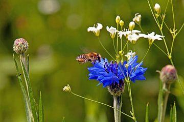 Insekt im Anflug auf eine Kornblume von Flowers by t.ART