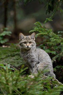 Europäische Wildkatze ( Felis silvestris silvestris ), Jungtier von wunderbare Erde