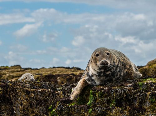 Zeehonden op de farne eilanden