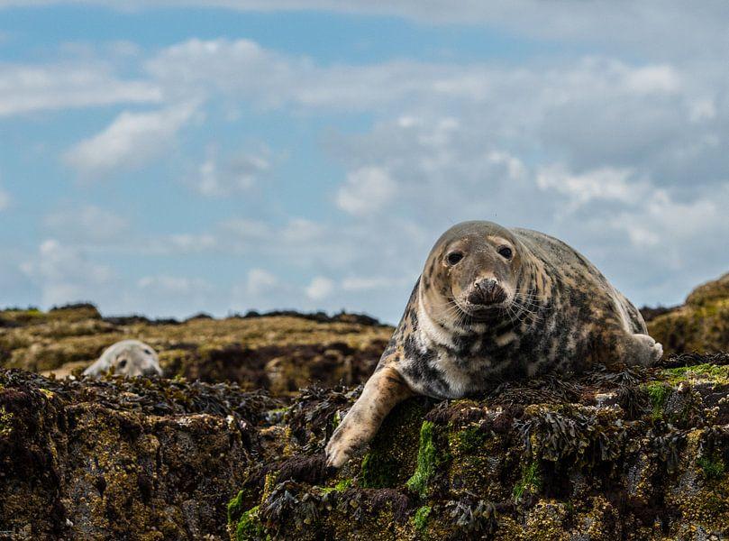 Zeehonden op de farne eilanden van Robin Voorhamm