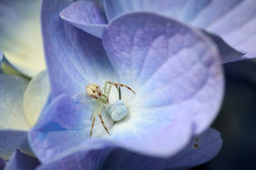 Crab spider on flower van Luis Fernando Valdés Villarreal Boullosa