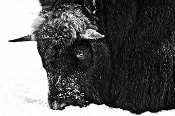sombere strengheid van een polaire muskus os, kop neergeslagen in de sneeuw zwart en wit contrastere van Michael Semenov