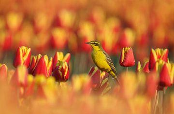 De gele kwikstaart op de tulpen. van Menno Schaefer