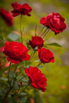 Herfst rozen von