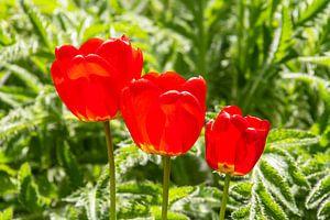 Rote Tulpen von Peter Baier