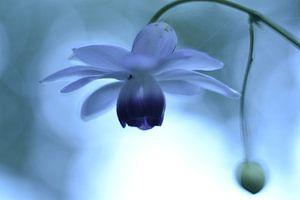 Bloem lantaarntje blauw