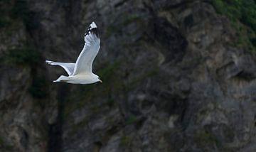 vliegende zeemeeuw van Compuinfoto .